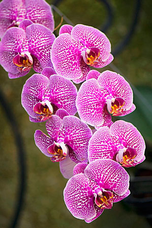Pink and White Pattern on Phalaenopsis Orchid Flowers